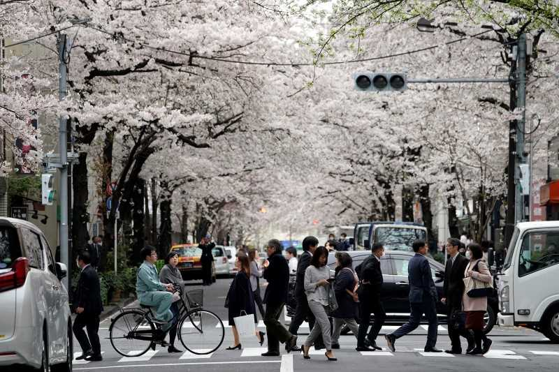 People crossing road under cherry trees in bloom